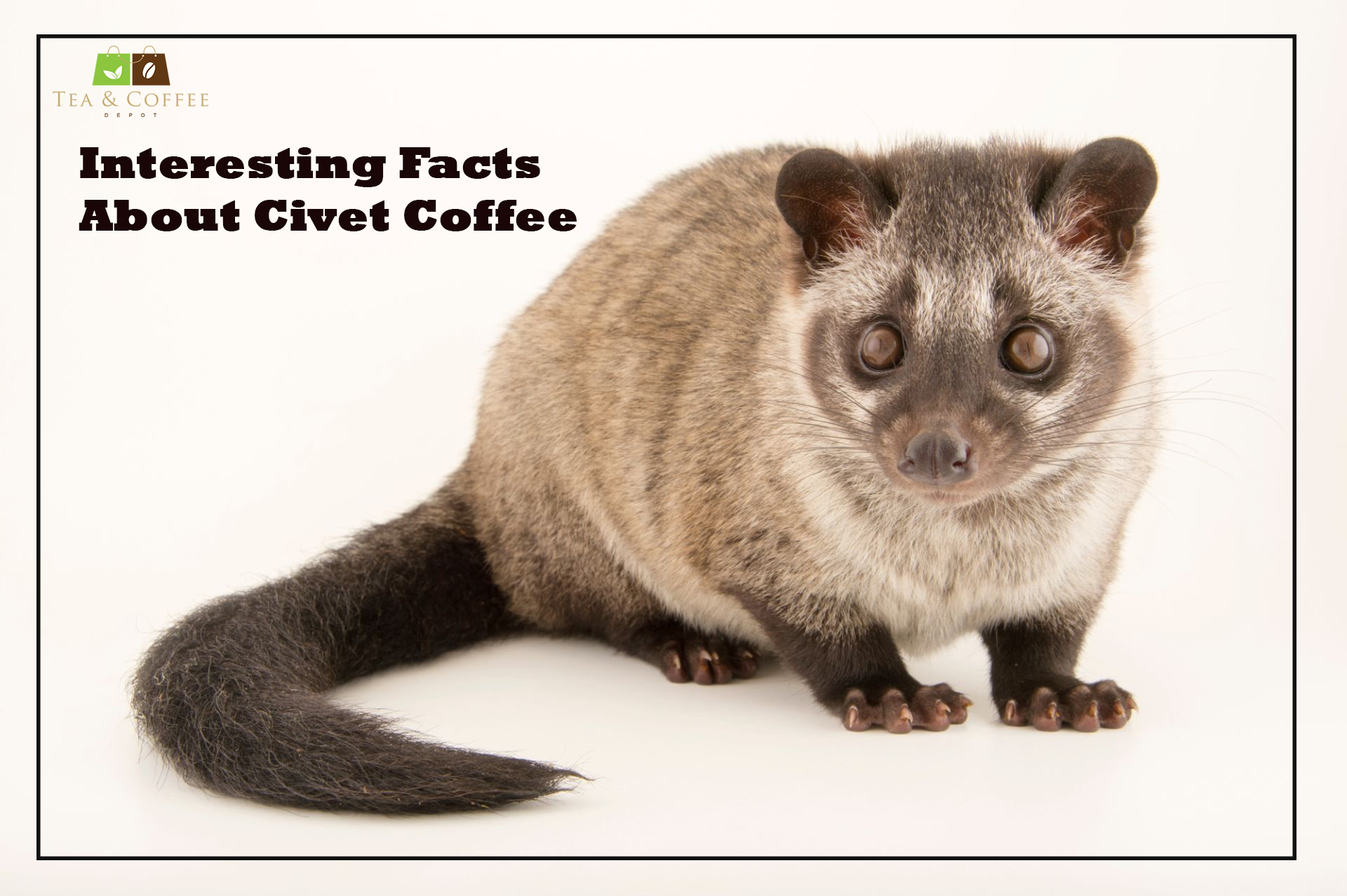 interesting-facts-about-civet-coffee-609b6d548a76a.jpg